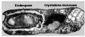Bt cell